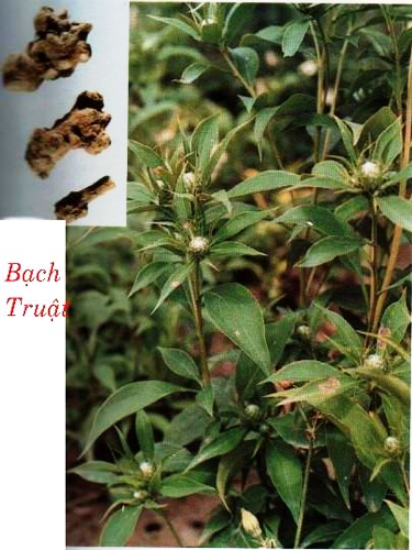 Description: bach truat Bạch truật