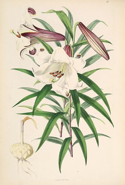 Description: http://upload.wikimedia.org/wikipedia/commons/thumb/2/26/Lilium_brownii.jpg/406px-Lilium_brownii.jpg